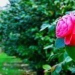 Camellia Route ● Guida pratica per visitarla
